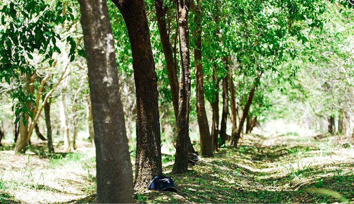 Microchips would help protect Sandalwood trees from illegal loggers. DH Photo