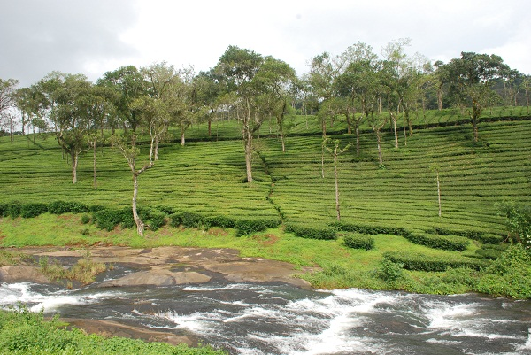 A perennial stream in a tea plantation