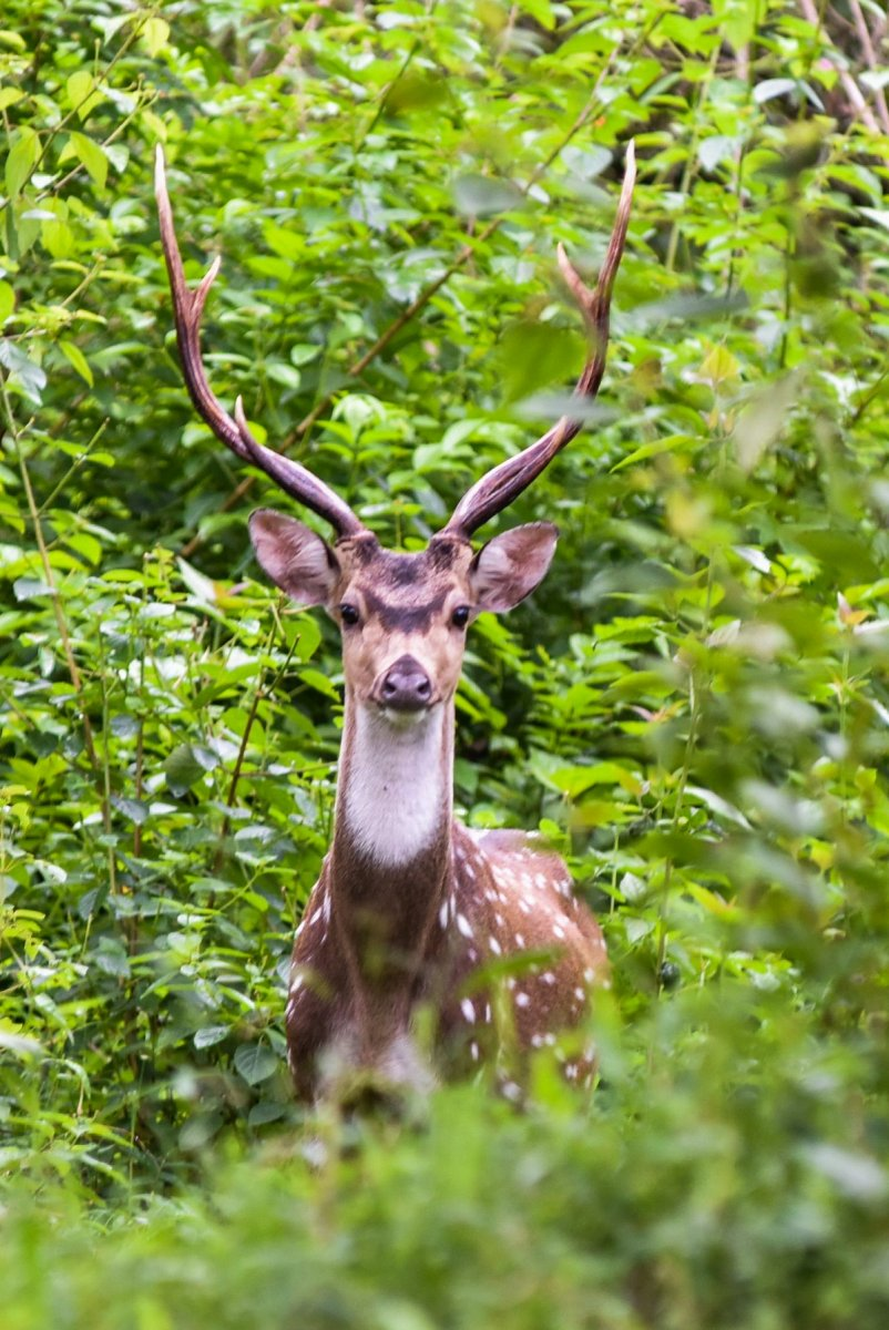 A spotted deer in Bandipur National Park