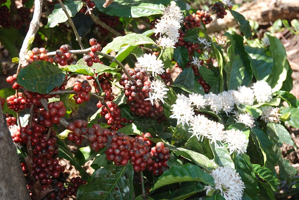 Coffee berries and sparkling coffee blossoms