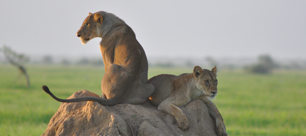 Lions rest on a termite mound in the  SORALO landscape.