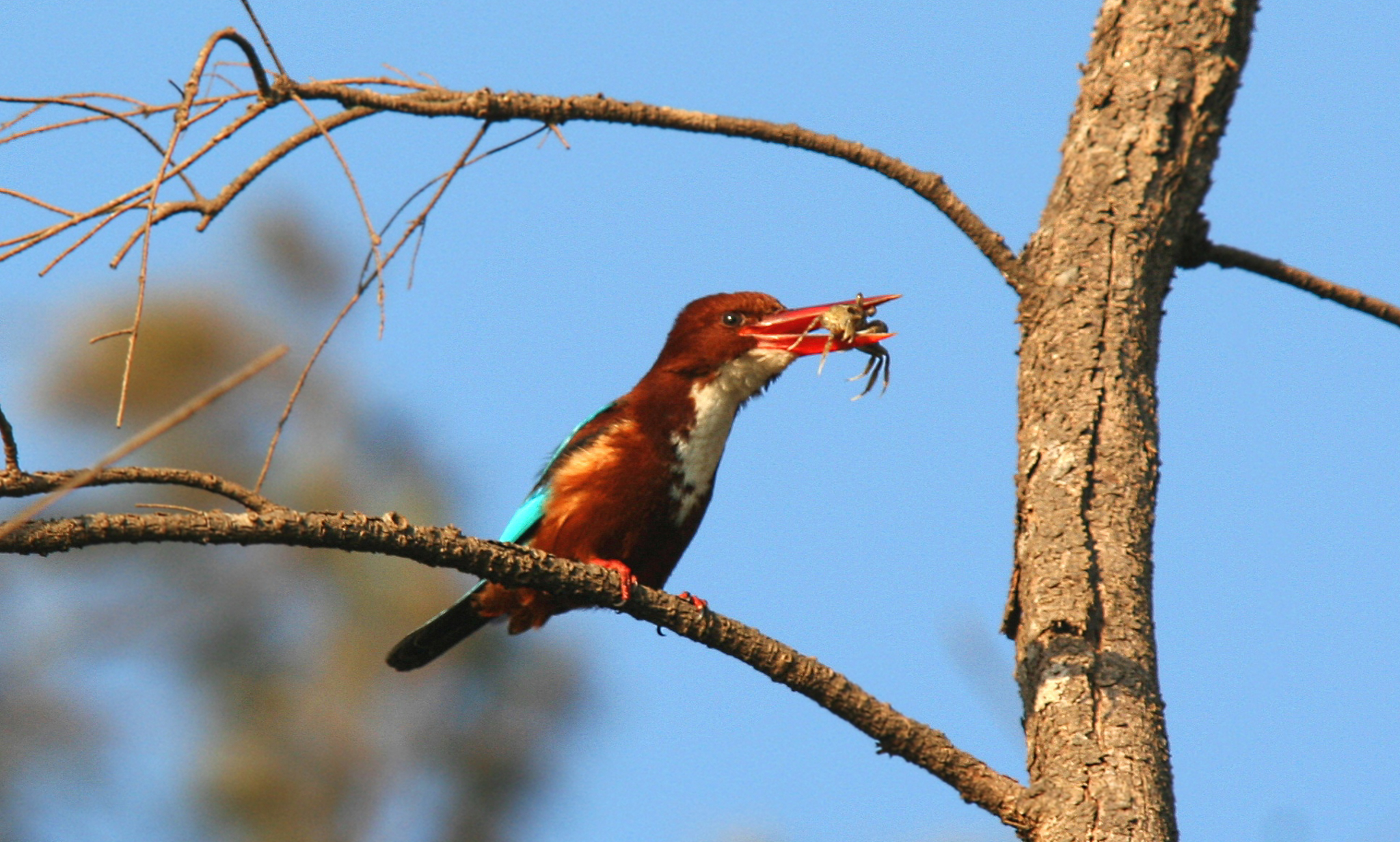 A white-throated kingfisher