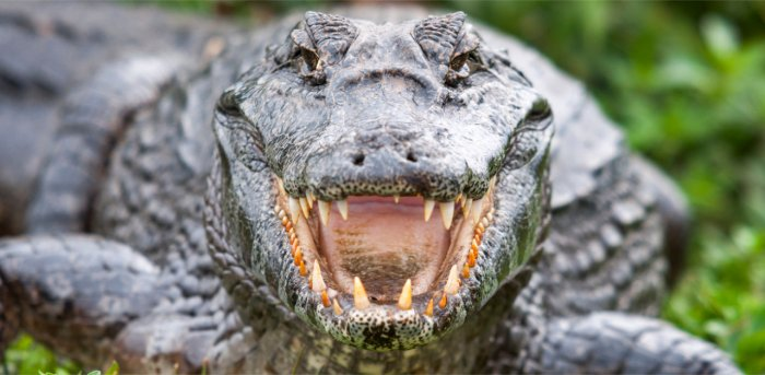 deccanherald.com - PTI - Crocodile fear hits agricultural activities in Odisha's Kendrapara district