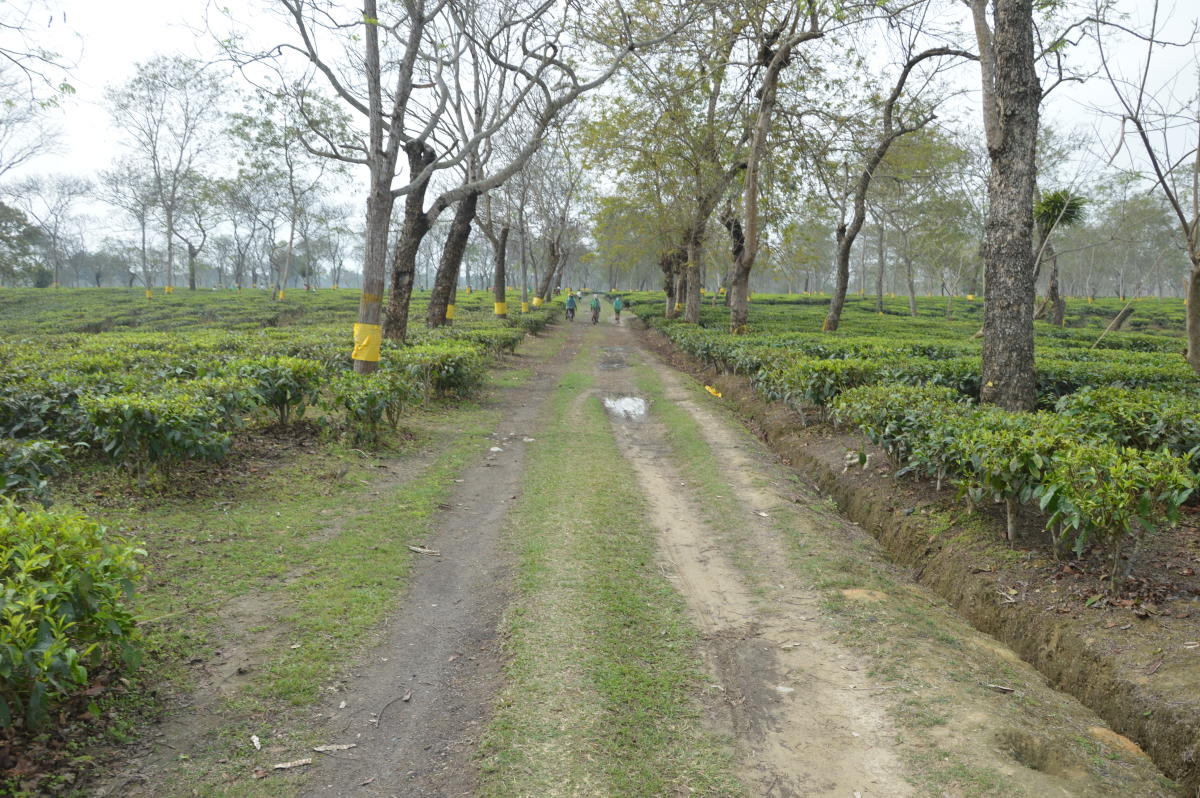 Toxic hooch, not the only killer of Assam's tea workers