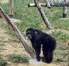 Music therapy for chimpanzees