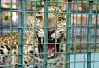 Leopard caught in Harapanahalli