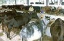 Cow protection centres in 50 taluks
