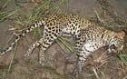 Leopard beaten to death