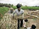 Sugar in India: The feast to famine story
