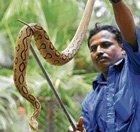 Russel's viper caught in City
