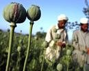 Afghan opium causing 100,000 deaths every year: UN