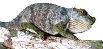 Snake spits out new species of chameleon