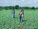 Farmers worried over borer affecting Bengal gram