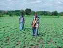 Farmers worried over borer affecting Bengal gram