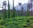 Rains bring smile on faces of tea growers