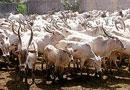 Cattle muster at Amrut Mahal Kaval