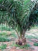 Palm--a promising crop for farmers