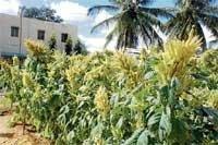 Rajagira, a magic crop