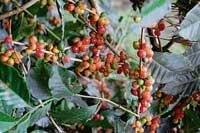 Coffee beans ripe before season