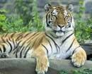 Tiger reserves in poor condition: Jairam Ramesh