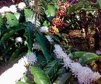 Early blossom in coffee worries planters