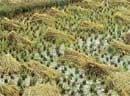 Rains damage crops in Balehonnur