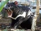 Mystery of dying Tasmanian devils solved
