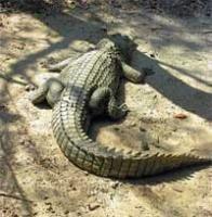 20 years on, captive crocodile Gori waits for a mate