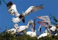 This village holds a brief for pelicans