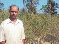 Now Tur dal grows in Malnad!