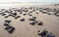 Olive Ridley turtles dying en-masse