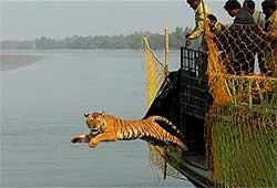 Captured tigress released in Sunderbans forest