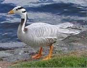 40,000 bar-headed geese roosting in Himachal now