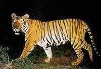 Tiger census from today in Bhadra Reserve Forest
