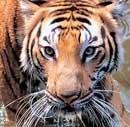 Tiger count commences