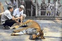 2 tigers sneak out from Guwahati zoo