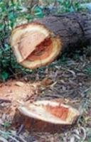 Felling of trees in plantation flayed