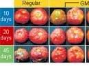 GM tomato gives 45-day shelf life
