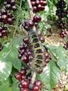Global coffee output may dip 3.6%, says ICO