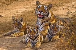 Four new tiger reserves in the offing