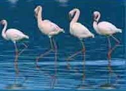 Chilika birds prolong winter sojourn