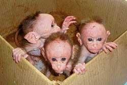 Six monkeys found dead