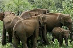 CZA preparing protocol for freeing captive jumbos in wild