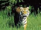 Tiger, on its last leg