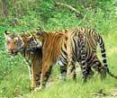 Tiger on verge of extinction: UN agency