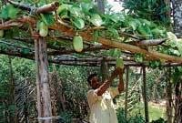 Koppa man grows new species of brinjal