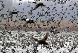 With spring, migratory birds fly out of Kashmir