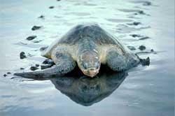 Sea erosion eats into Olive Ridley Turtles' space