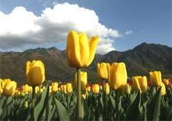 Kashmir's tulip garden thrown open to visitors