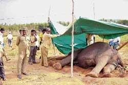 Electrified fence injures elephant